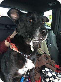 Labrador Retriever Dog for adoption in Miami, Florida - Dolce
