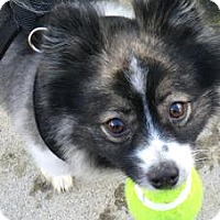 Adopt A Pet :: Koda - REDDING, CA