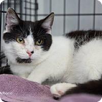 Adopt A Pet :: Arborio - Merrifield, VA