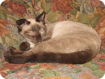 Siamese Cat for adoption in Portland, Maine - Hadji