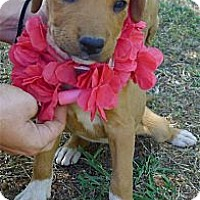 Adopt A Pet :: Brianna has ridge - Sacramento, CA