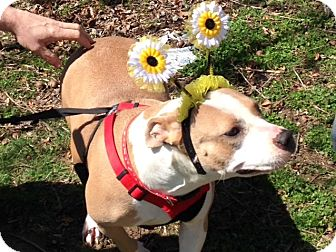 Boxer/American Bulldog Mix Dog for adoption in Kittery, Maine - Honey *Sweet As Daisies*