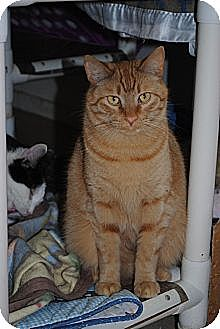 Domestic Shorthair Cat for adoption in Bay City, Michigan - Tony