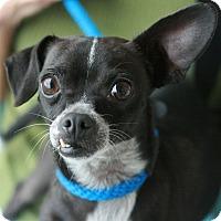 Adopt A Pet :: Calvin - Canoga Park, CA
