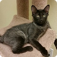 Adopt A Pet :: Stitch - Phoenix, AZ