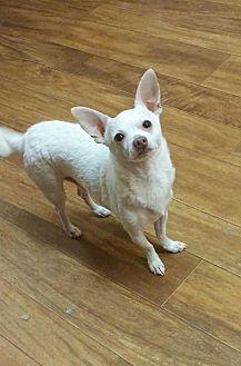 Chihuahua Mix Dog for adoption in Ball Ground, Georgia - Tito