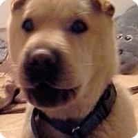 Adopt A Pet :: Foxy - Barnegat Light, NJ