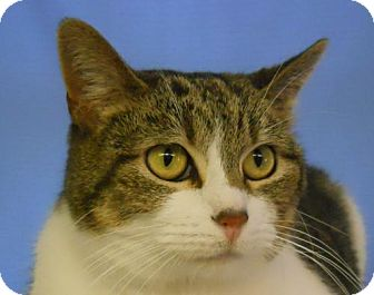 Domestic Shorthair Cat for adoption in Greenville, Illinois - Buttons