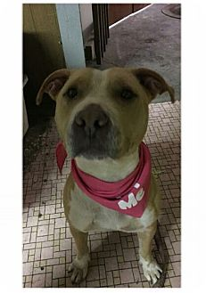 American Staffordshire Terrier Mix Dog for adoption in East McKeesport, Pennsylvania - Rose