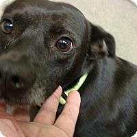 Adopt A Pet :: Betsy - Tampa, FL