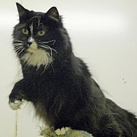Domestic Mediumhair Cat for adoption in Westville, Indiana - Pluto