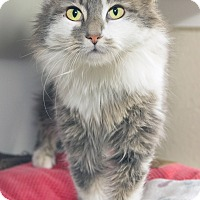 Adopt A Pet :: Baby Bop - Divide, CO