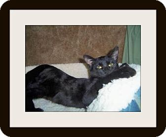 Domestic Shorthair Cat for adoption in Medford, Wisconsin - MYSTIC (LONGEST RESIDENT)