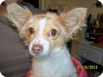 Chihuahua Mix Dog for adoption in San Diego, California - Dixie URGENT
