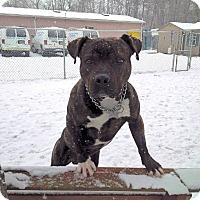 Adopt A Pet :: Boss - Tinton Falls, NJ