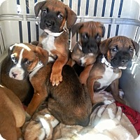 Adopt A Pet :: Boxer/Shep pups!ADOPTED! - Chicago, IL
