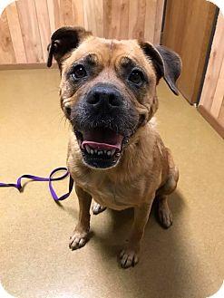 Boxer Mix Dog for adoption in Maryville, Missouri - Kaci