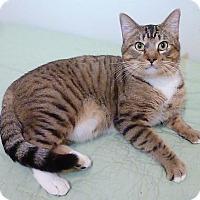 Domestic Shorthair Cat for adoption in League City, Texas - Bodacious Bob