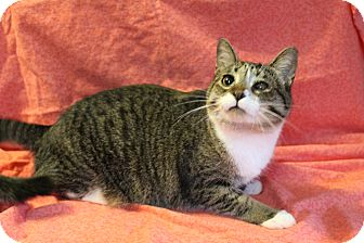 Domestic Shorthair Cat for adoption in Greensboro, North Carolina - Violet