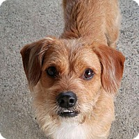 Adopt A Pet :: Carl - Sweet Young Terrier - Seattle, WA