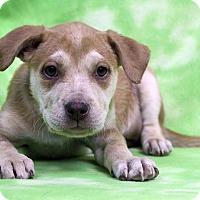 Adopt A Pet :: ELIZA - Westminster, CO