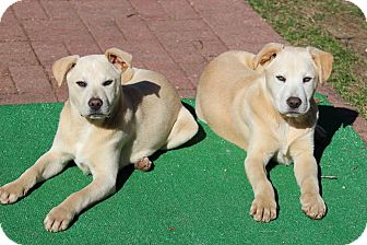 Labrador Retriever/Mixed Breed (Large) Mix Puppy for adoption in Sagaponack, New York - Nora