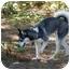 Photo 3 - Siberian Husky Mix Puppy for adoption in Wilmington, Massachusetts - Hera