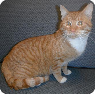 Domestic Shorthair Cat for adoption in Jackson, Michigan - Pumpkin
