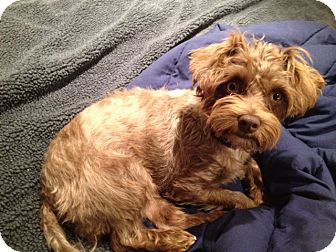 Terrier (Unknown Type, Small) Mix Dog for adoption in Vancouver, British Columbia - Coconut