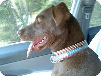 Labrador Retriever Mix Dog for adoption in Brattleboro, Vermont - Hershey