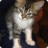 Adopt A Pet :: Saks - Chandler, AZ