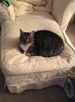 Domestic Shorthair Cat for adoption in Delmont, Pennsylvania - Joy