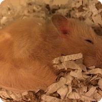 Adopt A Pet :: Star - Bensalem, PA
