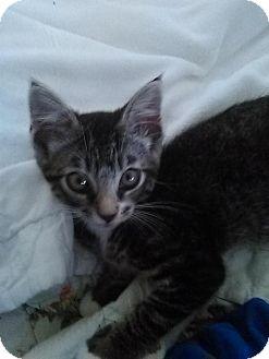 Domestic Shorthair Kitten for adoption in Monrovia, California - Jasper