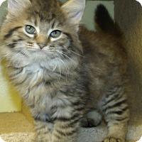 Adopt A Pet :: BRONCO - Acme, PA