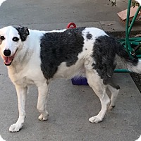 Australian Shepherd/Collie Mix Dog for adoption in Los Angeles, California - Penny