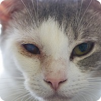 Domestic Shorthair Cat for adoption in Houston, Texas - JOELLE
