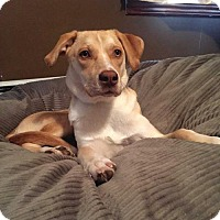 Labrador Retriever Mix Dog for adoption in Brattleboro, Vermont - DIAMOND