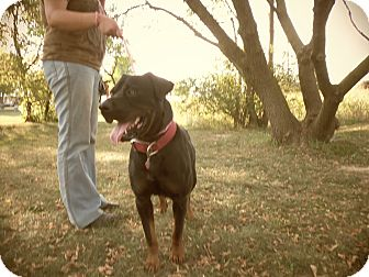 Rottweiler Mix Dog for adoption in Silver Lake, Wisconsin - Orion