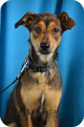 Shepherd (Unknown Type) Mix Dog for adoption in Minneapolis, Minnesota - Noel