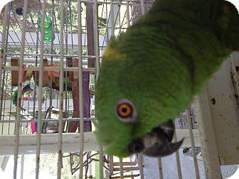 Amazon for adoption in Punta Gorda, Florida - Ripley