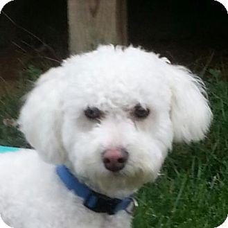 Bichon Frise Dog for adoption in Washington, D.C. - Frazier
