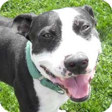 American Staffordshire Terrier/Boxer Mix Dog for adoption in Phoenix, Arizona - Oreo