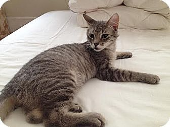 Domestic Shorthair Kitten for adoption in New York, New York - Sasuke