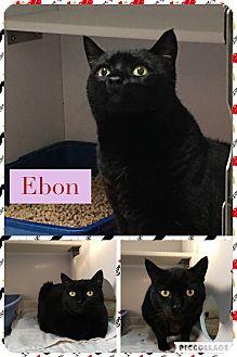 Domestic Shorthair Cat for adoption in Goshen, New York - Ebon