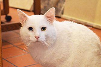 Domestic Shorthair Cat for adoption in Lincoln, Nebraska - Snow the Man
