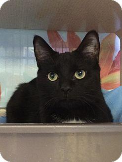 Domestic Shorthair Cat for adoption in New York, New York - Nicholas