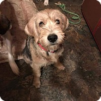 Coonhound Mix Puppy for adoption in Rockford, Illinois - Sugar