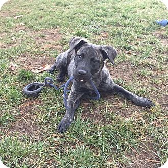 Dutch Shepherd Mix Puppy for adoption in Wethersfield, Connecticut - Brena