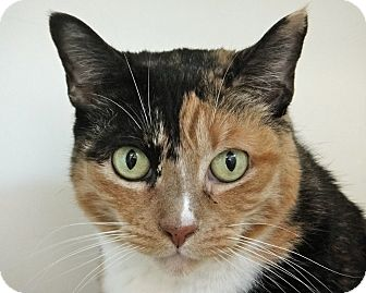 Calico Cat for adoption in San Leon, Texas - Bridgett
